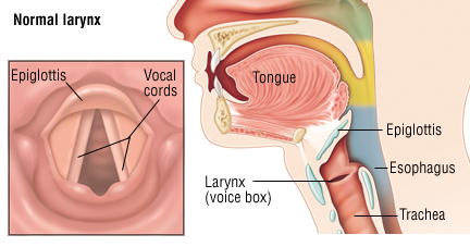 vocal-cords